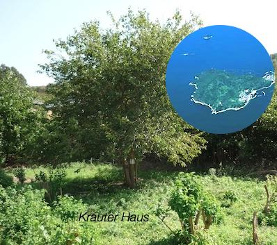 石垣島マルベリー